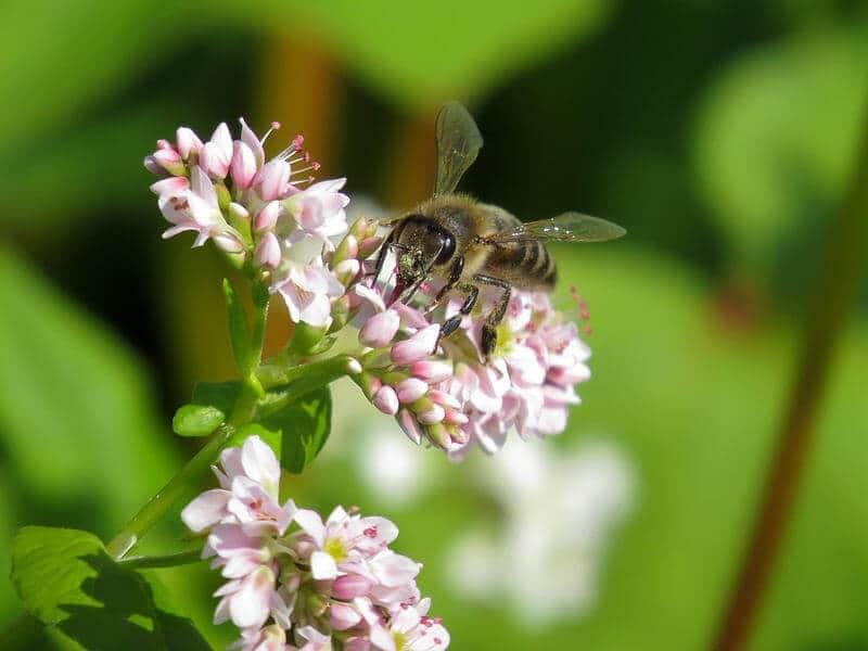 пчела на цветке липы